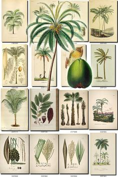 COCONUT-1 Collection of 30 vintage images cocos tree pictures High resolution digital download printable green palm drupe fruit nut           data-share-from=listing        >           <span class=etsy-icon