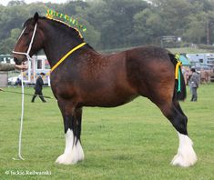 What a stunner!  Dark bay Clydesdale with sabino white markings.  http://equinetapestry.com/wp-content/uploads/2014/03/FlashyWhiteClyde.jpg