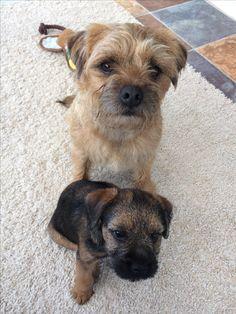 Pip & Holly #btposse @BorderPip Border Terriers