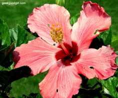 Hibiscus Flower Blooming
