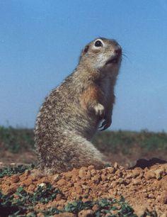 Znalezione obrazy dla zapytania Speckled ground squirrel
