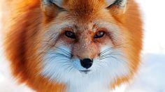 рыжая, зима, Лиса, нос, снег, лиса, лисица