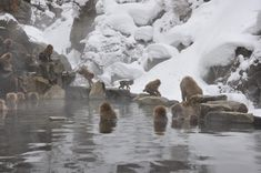 The ultimate guide on how to visit the Japanese snow monkeys at Jigokudani Snow Monkey Park, Japan - when to visit, how to get there, where to stay and. Monkey Park Japan, Snow Monkey Park, Snow Monkeys Japan, Snow In Japan, Jigokudani Monkey Park, Japan Beach, Beautiful Places In Japan, Japan Holidays, Japan Travel Guide