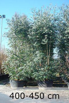 Eucalyptus gunnii / Eucalyptus - Großer Strauch, der bis zu 7m hoch werden kann mit dem typisch-aromatischen Duft und gelber Blüte im Sommer