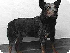 Downey, CA - Blue Heeler Mix. Meet 17-12775, a dog for adoption. http://www.adoptapet.com/pet/17323621-downey-california-blue-heeler-mix