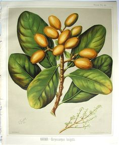 Sarah Featon, Karaka - Sara FEATON  Hand-coloured engravings from The Art Album of New Zealand Flora, 1889. It contained descriptions of the native flowering plants of New Zealand and the adjacent islands.