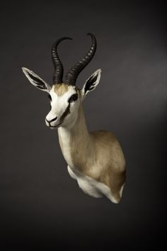 Taxidermy mount of a Springbok with a drop shoulder.