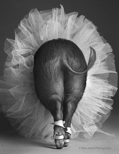 Pig on Point by Ellen Jaskol/Rocky Mountain News.  Pig in tutu.
