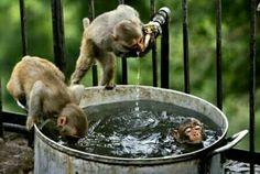 Little Monkey Bath - Funny Monkey Pictures Funny Animal Pictures, Funny Animals, Cute Animals, Monkeys Animals, Monkey Pictures, Party Animals, Funny Images, Primates, Monkey Bath