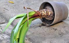 Consommation oblige, on achète une amaryllis, on en profite, puis on la jette et on en rachète... Les vendeurs ont tout intérêt à laisser courir le mythe : « Un bulbe forcé ne refleurit plus. » Pourtant, rien n'est plus mensonger ! Si on lui apporte les soins qu'il faut, le bulbe refleurira de plus belle ! Decoration Plante, Actifry, Watering Can, Houseplants, Container Gardening, Indoor Plants, Flower Arrangements, Succulents, Home And Garden
