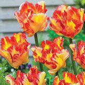 Caribbean Parrot_Tulip