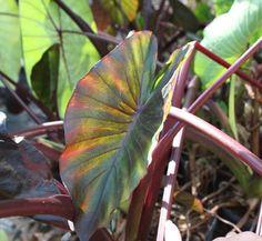 Colocasia esculenta 'Diamond Head' 2