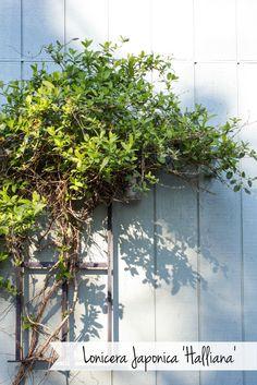 Lonicera Japonica 'Halliana'  #gardening #flowers #plants