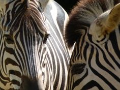Zebras, Taronga Zoo