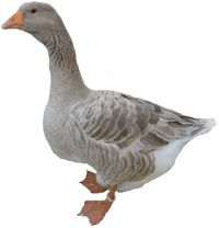Am thinking goose for the garden...