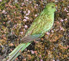 Australian Western Ground Parrot highly endangered
