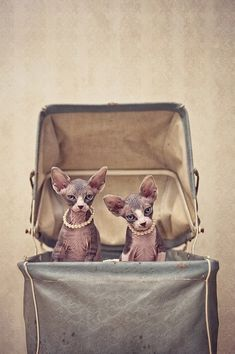 Sphynxes by Serena Hodson.