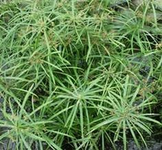 Cyperus Ornamental Grass (wild spike)