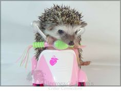 MY HEDGEHOG!  No, really!  (On a scooter?!  Can you stand this much cuteness?!)  This little beauty is my girl and this is one of her photo's from Millermeade Farm's Critter Connection Website when I purchased her.  <3