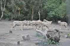 Wolf Sanctuary Tsitsikamma Forest Cape Cape, Wolf, Road Trip, Africa, Horses, Animals, Mantle, Cabo, Animales