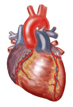1000 images about human heart on pinterest anatomical for Urine smells like fish after eating fish