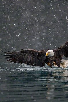 Eagle fishing in the snow.