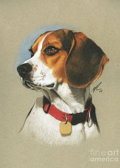 Are you interested in a Beagle? Well, the Beagle is one of the few popular dogs that will adapt much faster to any home. Art Beagle, Beagle Puppy, Animal Paintings, Animal Drawings, Art Drawings, Pencil Drawings, Color Pencil Art, Dog Portraits, Dog Art