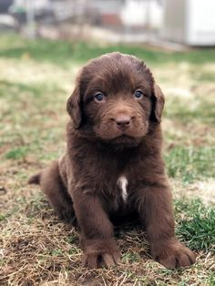 Lancaster Puppies pairs Newfoundland dog breeders with great people like you! Find your Newfoundland dog for sale here! Puppies For Sale, Cute Puppies, Cute Dogs, Dogs And Puppies, Animals Dog, Cute Animals, Teacup Dogs, Newfoundland Puppies, Lancaster Puppies