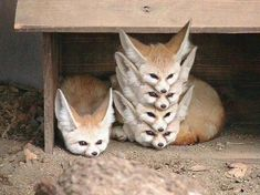 """animal-factbook: """"Fennec Foxes are highly social creatures with a rigid social hierarchy. When a pack of Fennec Foxes rest, they form what is often called a """"Fennec Stack"""" with the alpha fox on the. Cute Funny Animals, Funny Animal Pictures, Cute Baby Animals, Animals And Pets, Cute Pictures, Funny Foxes, Hilarious Animal Memes, Funny Photos, Strange Animals"""