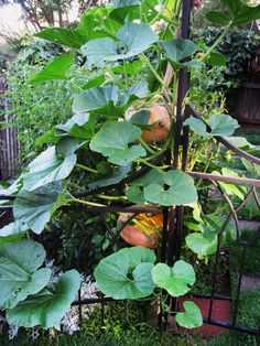 """Growing pumpkins vertically was no problem for RMSer charl, who used pantyhose to support the swelling fruit."""