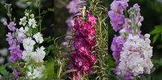 Stocks are absolutely beautiful flowers. You simply have to find a spot for these floral beauties in your garden.