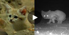 Une équipe de scientifiques a réussi à observer le chat des sables pour la…