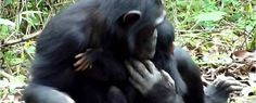 """In a stark reminder of just how similar chimpanzees and humans are, Japanese researchers have observed a chimp mother taking care of her """"severely disabled"""" infant in the wild. With the help of one of her other daughters, she was able to help the..."""