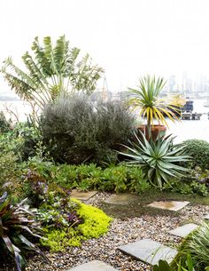 The garden is a mass of colours and textures. Golden stonecrop (Sedum acre 'Aureum') contrasts with the rich purple of the Aeonium (Aeonium 'Schwarzkopf'). A giant travellers palm (Ravenala madagascariensis) frames the city view.  Photo by Daniel Shipp, production by Georgina Reid / The Planthunter for The Design Files.