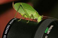 macro lens with katydid bug Fotografia Macro, Macro Photography, Lens, Klance, Lentils