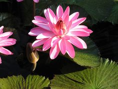 Plant tropical water lilies when water temperatures rise above 70 degrees.