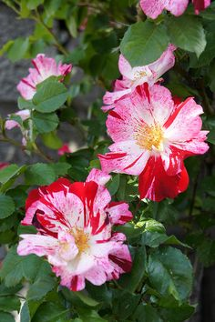 Rose Fourth of July バラ フォース・オブ・ジュライ by T.Kiya, via Flickr