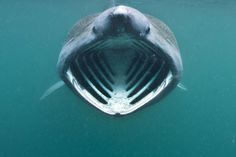 Basking shark with mouth wide open feeding on plankton