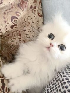 Persian Cat White Persian Kittens Gallery - Teacup Kittens for Sale White Persian Kittens, Persian Cats For Sale, White Cats, Teacup Kittens For Sale, Kitten For Sale, Kittens Cutest, Cats And Kittens, Bengal Kittens, Beautiful Cats