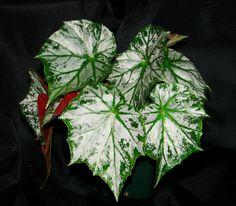 Begonia 'Skeezar'