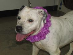 Dottie - URGENT - Richland County Dog Warden in Mansfield, Ohio - ADOPT OR FOSTER - Adult Female Pit Bull Terrier Mix