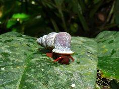 Snail (Schistoloma anostoma)