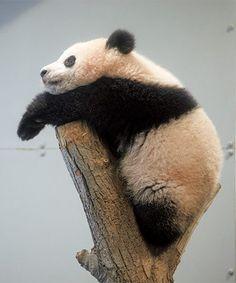 パンダのシャンシャン 幸せいっぱいフォトギャラリー Tame Animals, Panda Bears, We Bare Bears, Police Dogs, Cute Panda, My Spirit Animal, Zine, Dog Cat, Rabbit