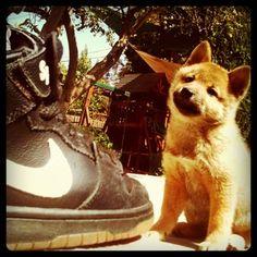 """(via """"Sit boy! Good d g"""" #Scout #Shiba #Nike SB)"""