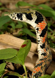 Tiger Keelback Snake (Rhabdophis tigrinus) - A venomous snake found in East and Southeast Asia.