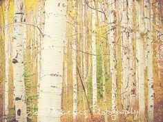 Autumn Aspen Trees Photography Print by jensurge on Etsy, $15.00