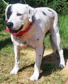 Gunner is located in Dover, NCGunner and Lucy were dropped off at the shelter by their owner when she lost her job and became homeless. They were very sad and scared at the shelter but we rescued them and put them in a foster home. They would love...
