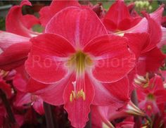 Wishing you a #wonderful day with this #beautiful #Amaryllis #Neon  Photo by Stephen Lin