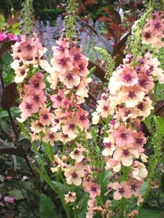 """verbascum """"Southern Charm"""".  I'ld like to know more about this plant..."""