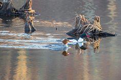 #ducks #commonmerganser #spring